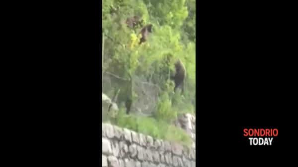 In Trentino gli orsi attraversano la strada